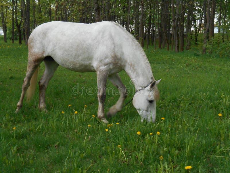 Biały koń na zielonej trawy krajobrazie zdjęcie stock