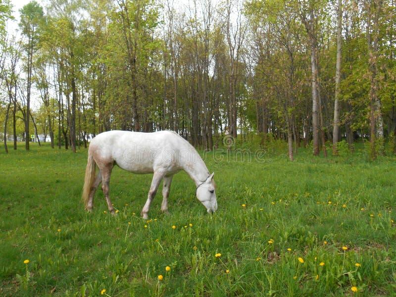 Biały koń na zielonej trawy krajobrazie obrazy stock