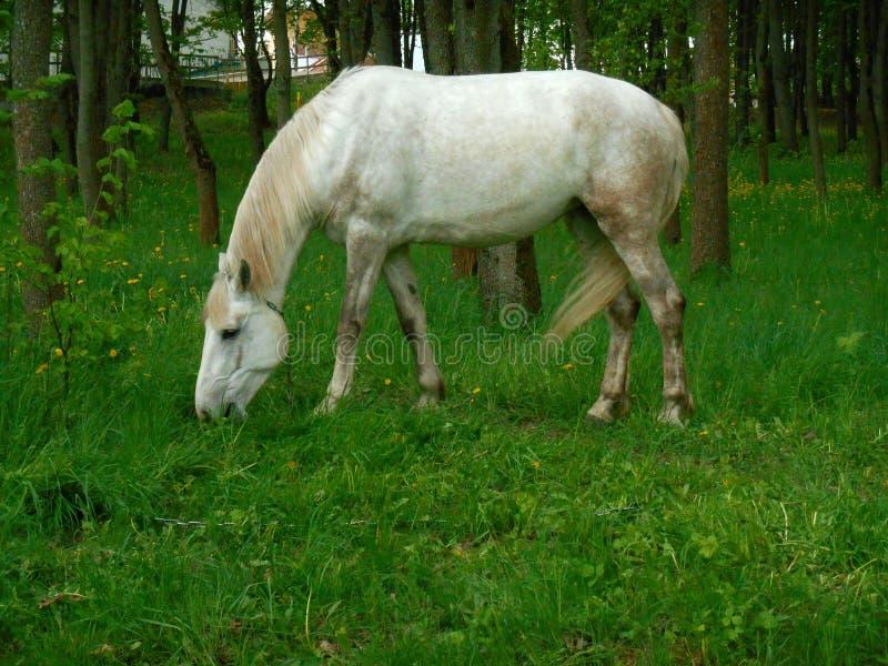 Biały koń na zielonej trawy krajobrazie obraz royalty free