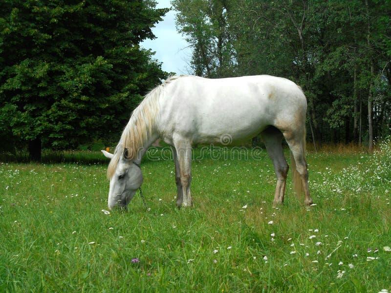 Biały koń na zielonej trawy krajobrazie fotografia stock