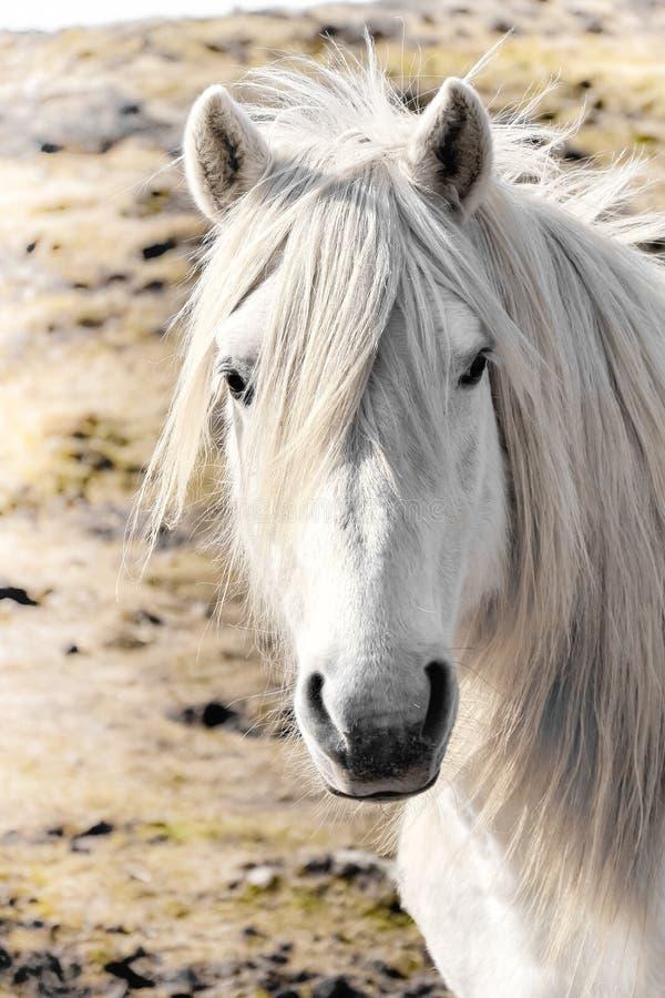 Biały koń odizolowywający na trawie fotografia stock