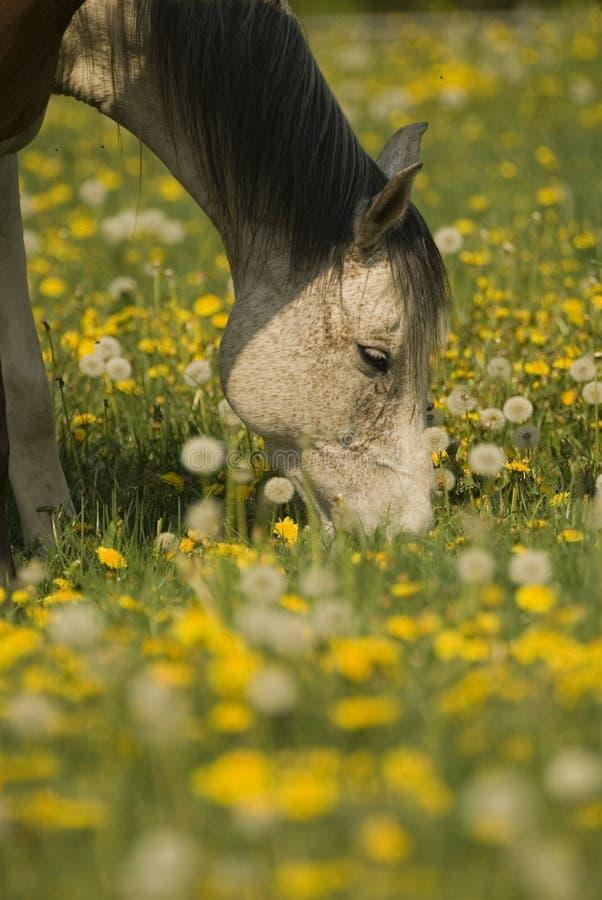 biały koń pastwiskowy zdjęcie stock