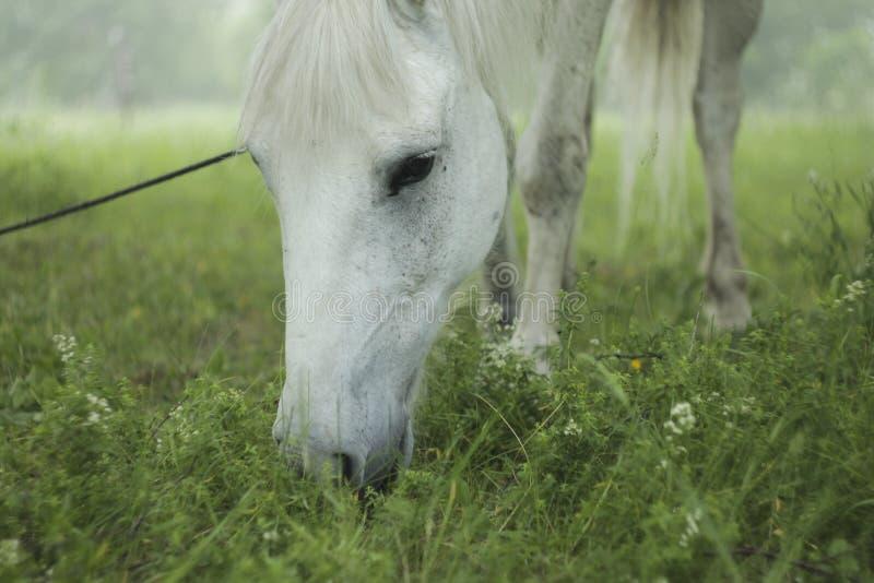 biały koń pastwiskowy zbliżenie obraz stock
