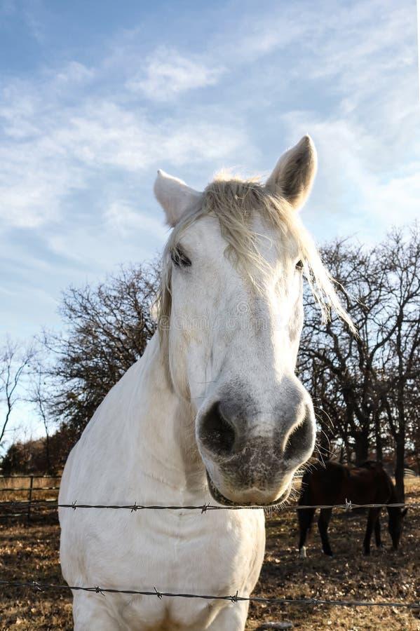 Biały koń patrzeje nad drutu kolczastego ogrodzeniem od niezwykłego kąta z nosem dużym i kierowniczy forshortened zdjęcie stock