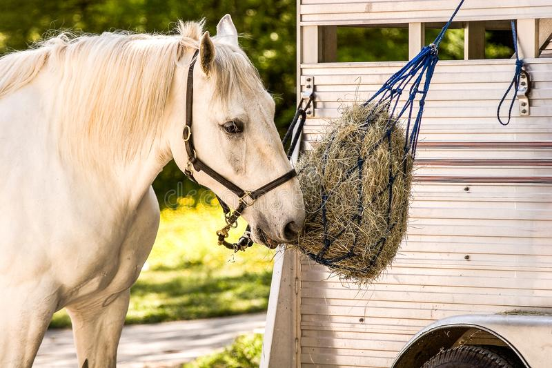 Biały koń przy Feedbag obrazy stock