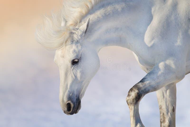 Biały koń przy zmierzchem fotografia stock