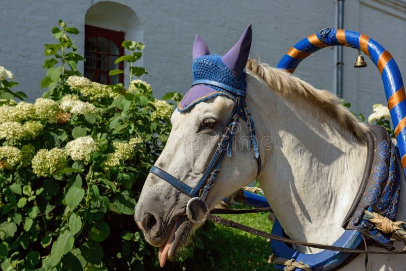 Biały koń używać dla ciągnąć tradycyjnych rysujących frachty fotografia royalty free