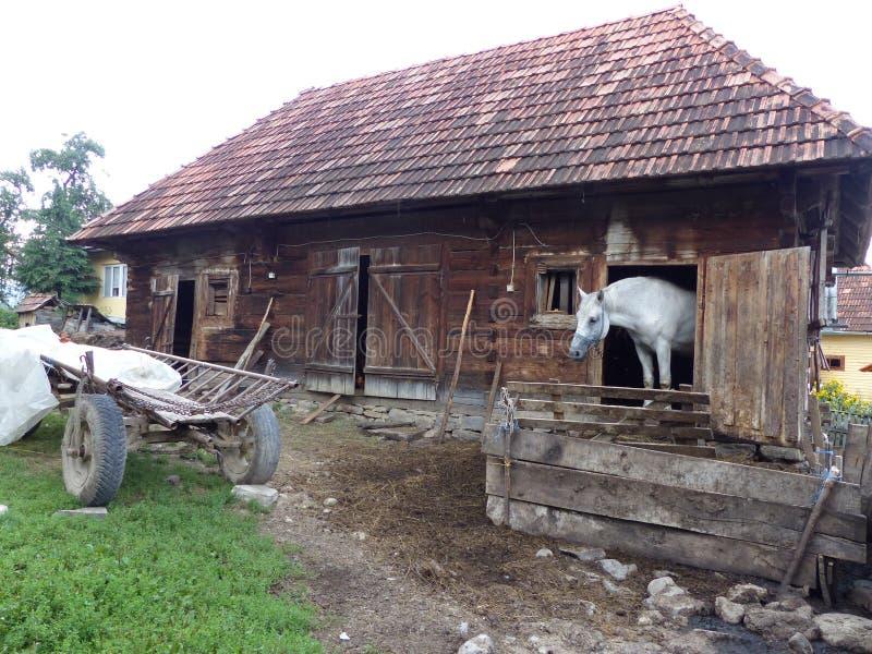 Biały koń wśrodku kramu z częścią ciała out w kraju Maramures w Rumunia zdjęcie royalty free