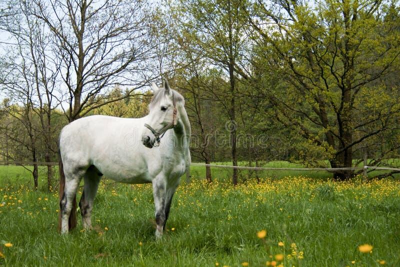 Biały koń w padoku zdjęcia royalty free
