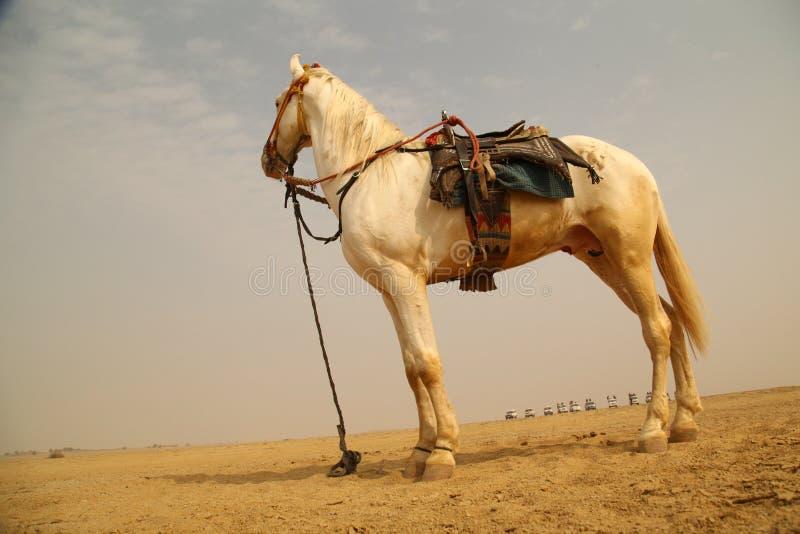 Biały koń w pustyni zdjęcia royalty free