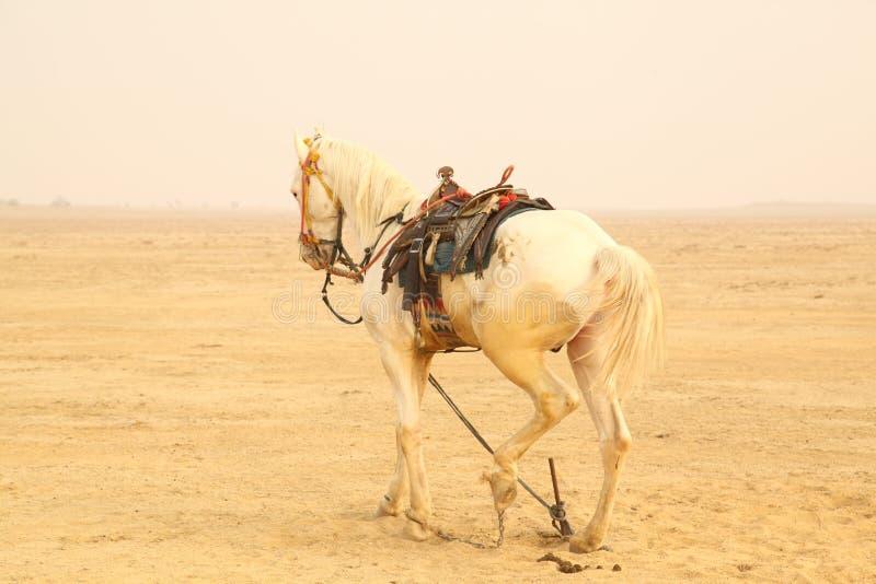 Biały koń w pustyni zdjęcia stock