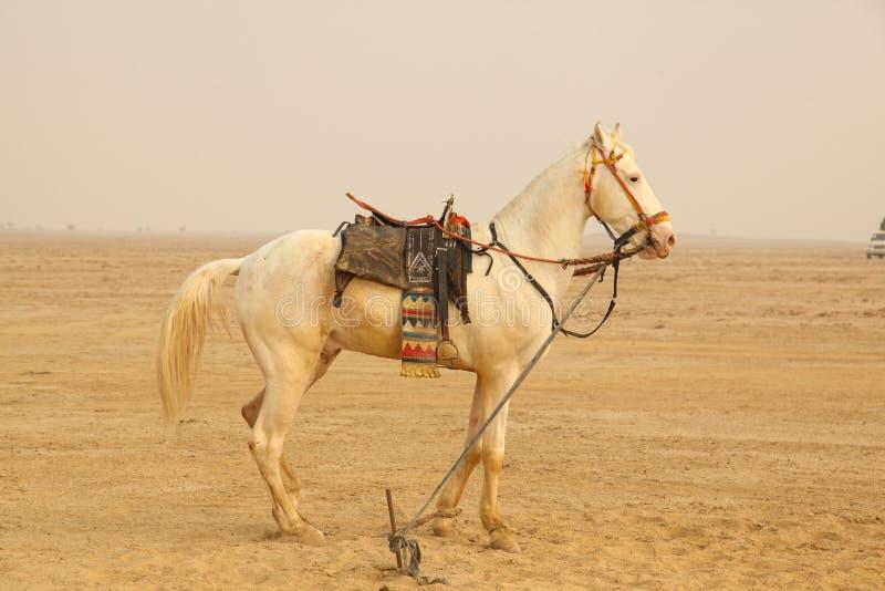 Biały koń w pustyni obrazy stock