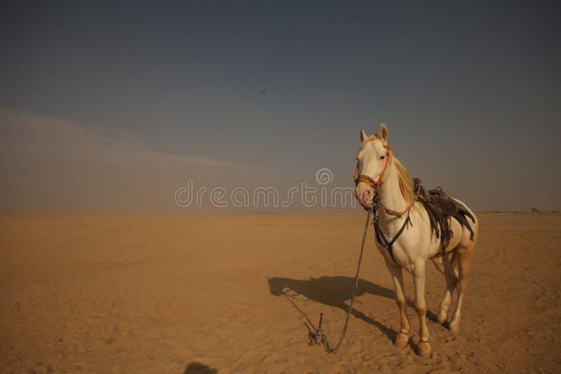 Biały koń w pustyni zdjęcie stock