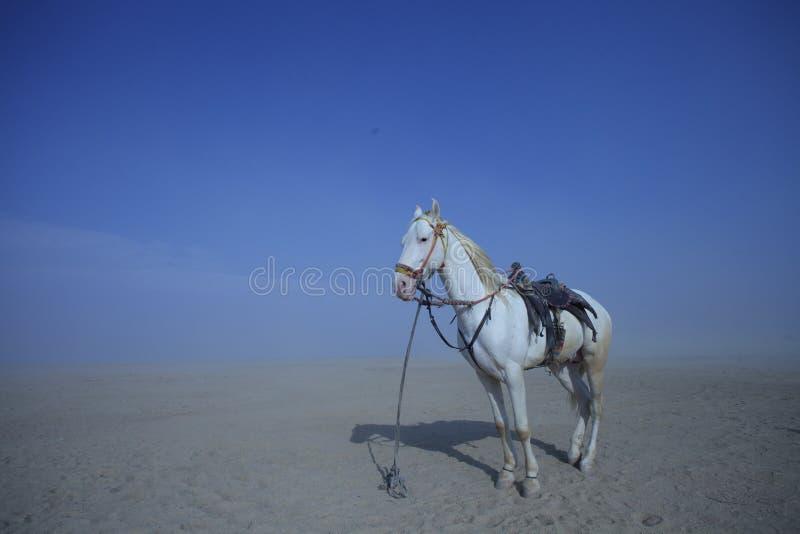 Biały koń w pustyni zdjęcie royalty free