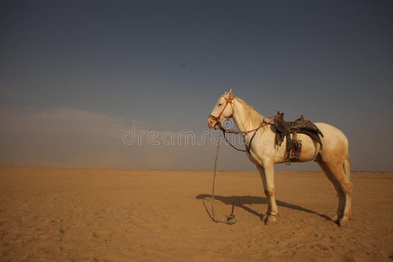 Biały koń w pustyni obrazy royalty free