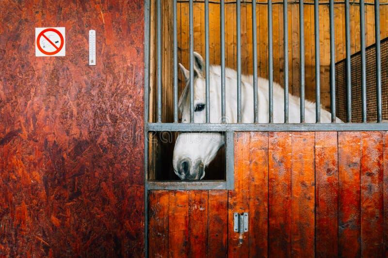 Biały koń w stajence zdjęcia royalty free