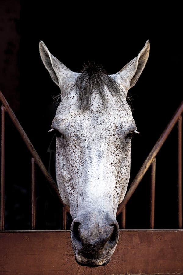 Biały koń w stajence zdjęcie stock