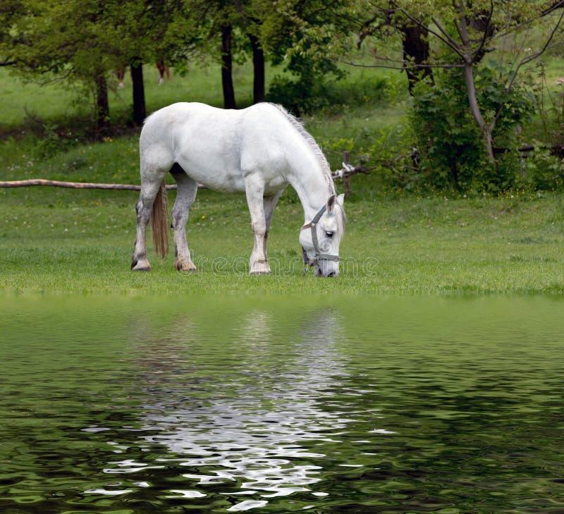 Biały koń w zieleń parku zdjęcie stock