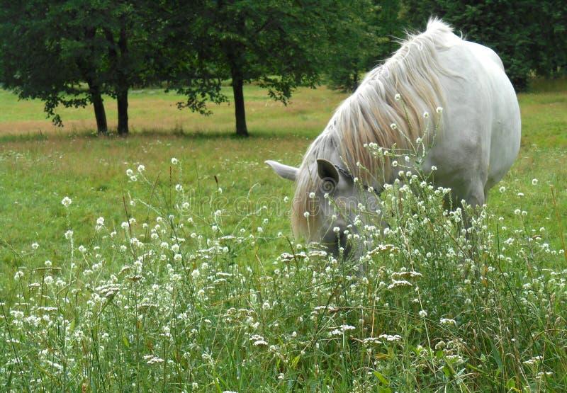 Biały koń w zielonej trawie obraz royalty free