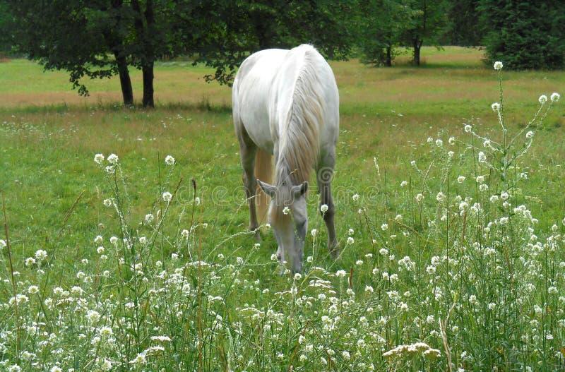 Biały koń w zielonej trawie i kwiatach zdjęcia stock