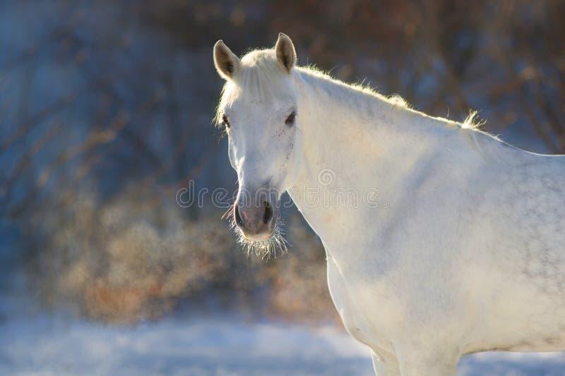 Biały koń w zima dniu fotografia stock