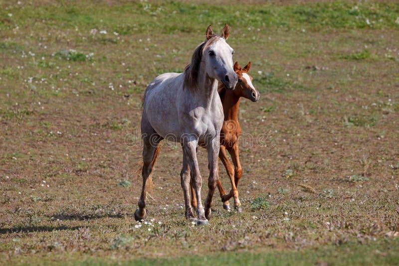 Biały koń z źrebięciem w paśniku obrazy royalty free