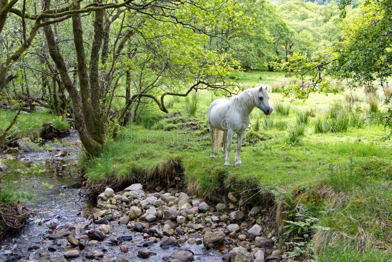 Biały koń zostaje blisko strumienia w szkockiej wsi obrazy royalty free