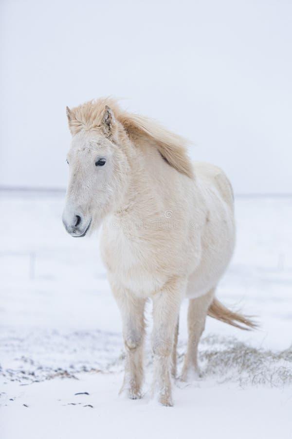 Biały koń zostaje podczas śnieżnego zima dnia w Iceland zdjęcia royalty free