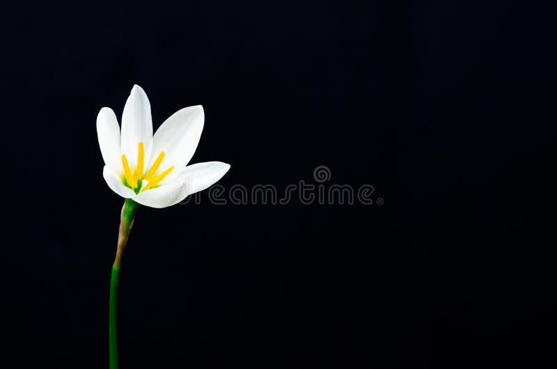 Biały koloru deszczu lelui kwiatu kwitnienie w podeszczowym sezonie na ciemnym tle z przestrzenią dla teksta obraz stock