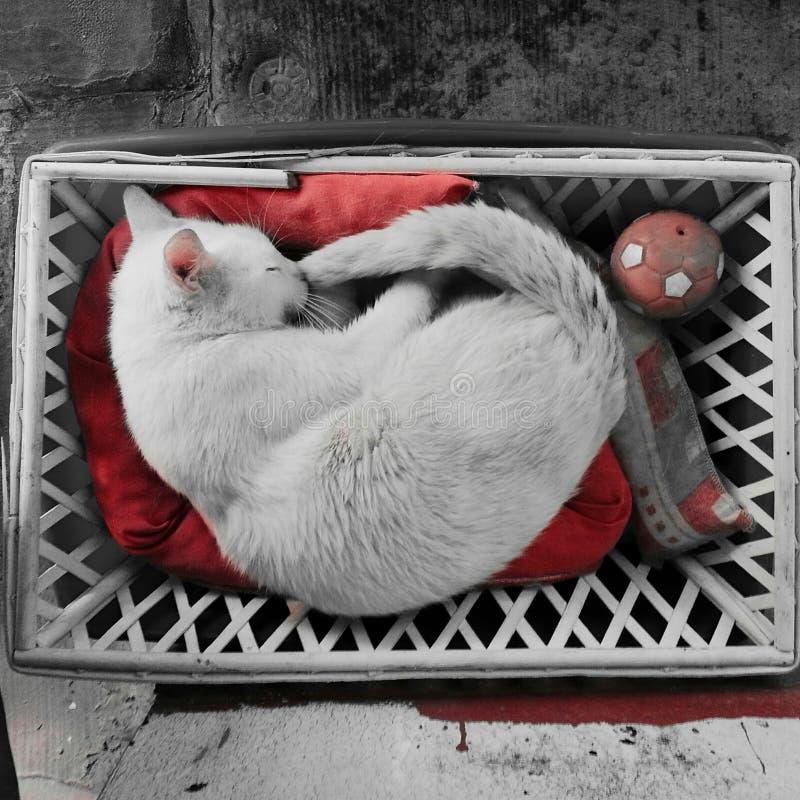 biały kot śpi sweetly zdjęcia royalty free