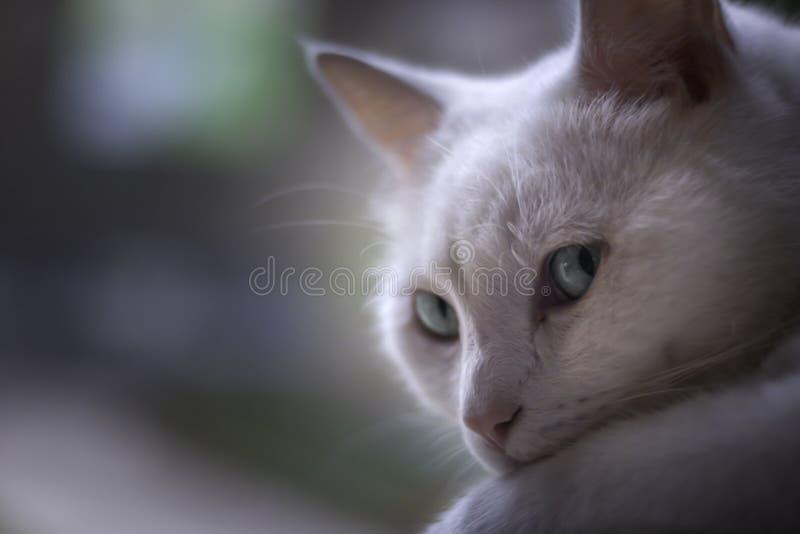 Biały kot chłodzi przy okno zdjęcia royalty free