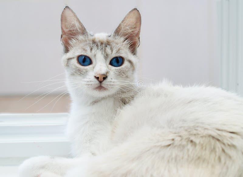 Biały kot odpoczywa na białej podłodze z niebieskimi oczami zdjęcia stock