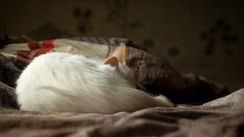 Biały kot z czerwonymi ucho śpi na leżance fotografia royalty free