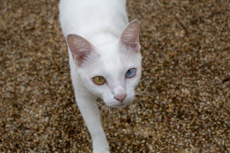 Biały kot z dwa kolorów oczami, błękitem i kolorami żółtymi, ono przygląda się Khaomanee zdjęcie stock