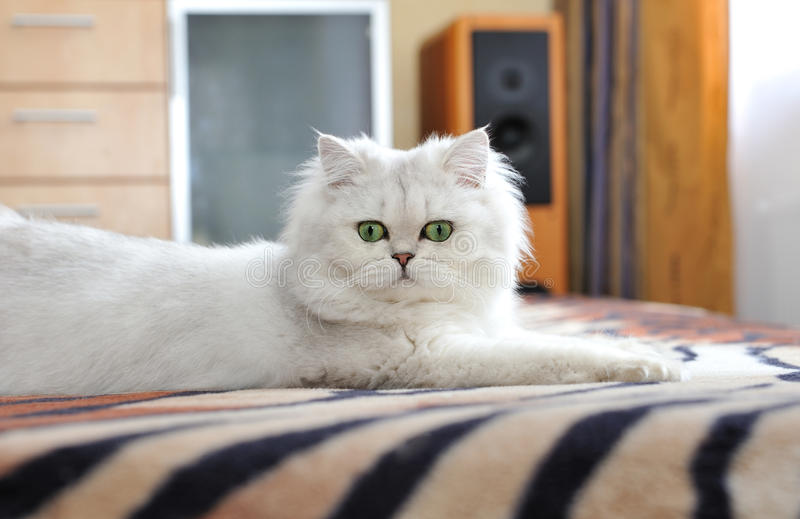 Biały kot z zielonych oczu kłamać obraz stock