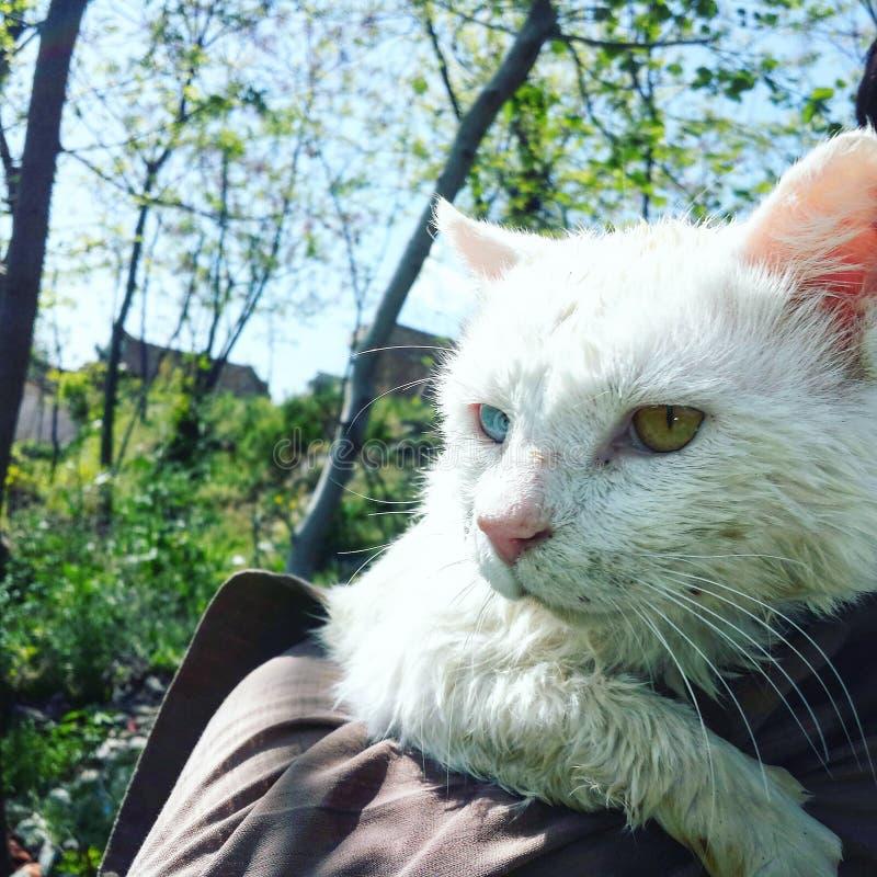 Biały kota colour mniej oczu zdjęcie royalty free