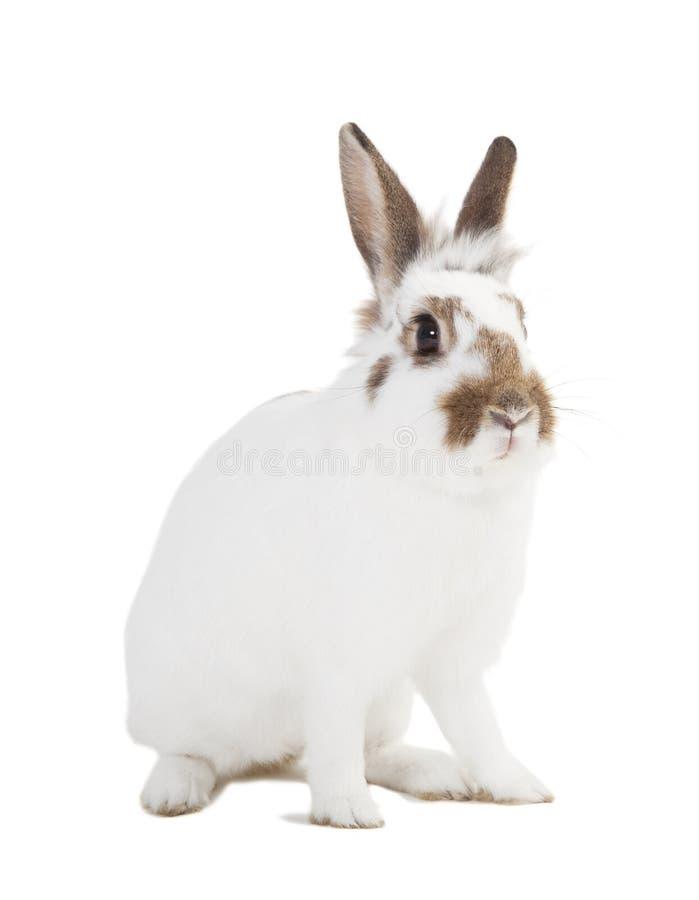Biały królik odizolowywający obraz royalty free