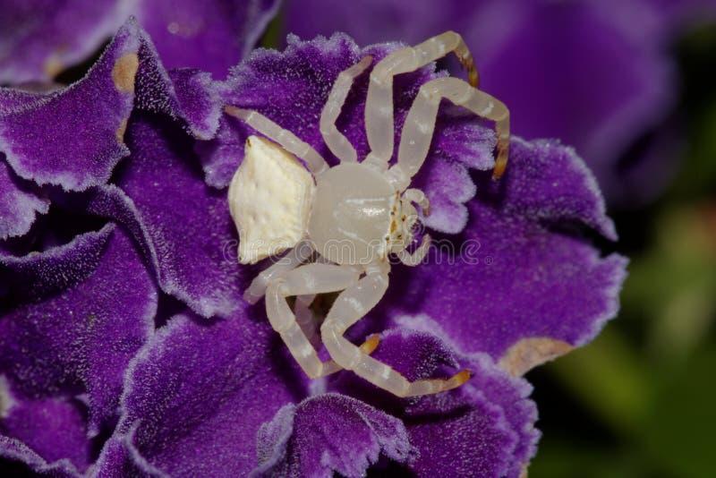 Biały kraba pająk lub Białego kwiatu pająk obraz royalty free