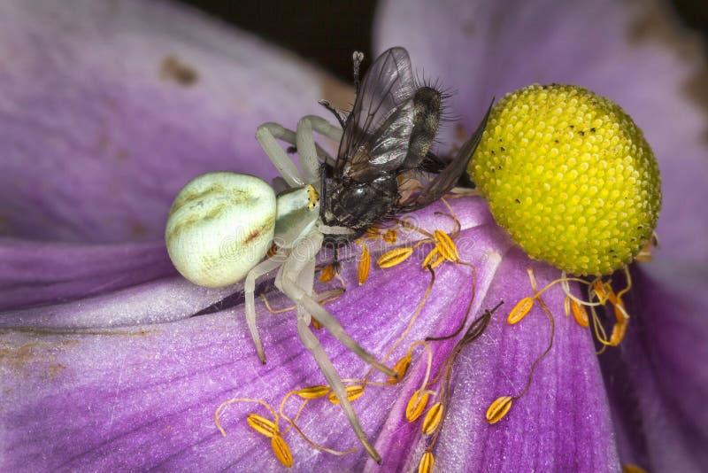 Biały kraba pająk z komarnicą zdjęcia stock