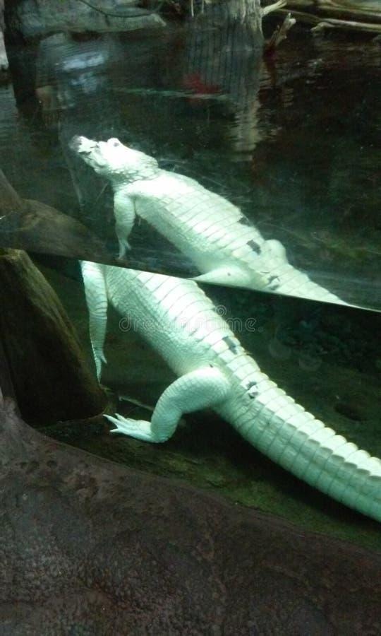 Biały krokodyl Nowy Orlean obraz royalty free