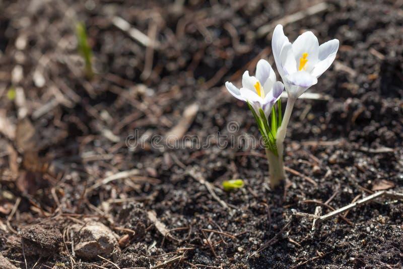 Biały krokus kwitnie na miękkiego i rozmytego ogródu zmielonym tle Płytka głębia pole, selekcyjna ostrość pierwszy wiosenny zdjęcia royalty free