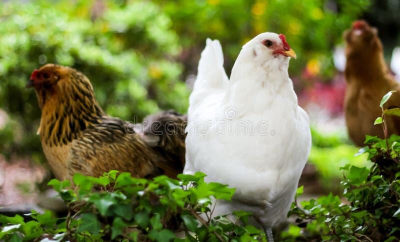 Biały kurczak Stoi Out od odpoczynku obraz stock