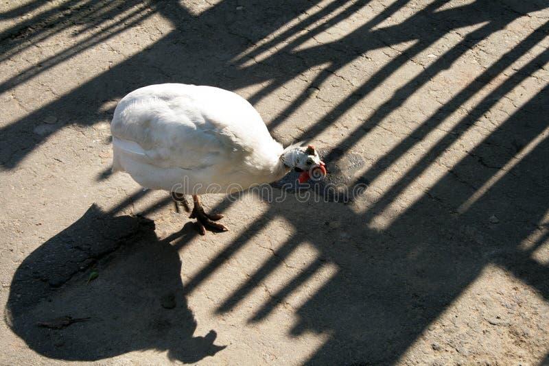 Biały kurczak w openwork cieniu ogrodzenie zdjęcie royalty free