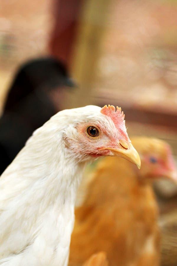 Biały kurczaka zbliżenie zdjęcia stock