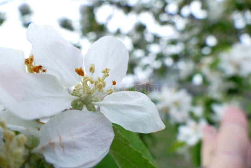 Biały kwiat drzewny makro- strzał fotografia royalty free