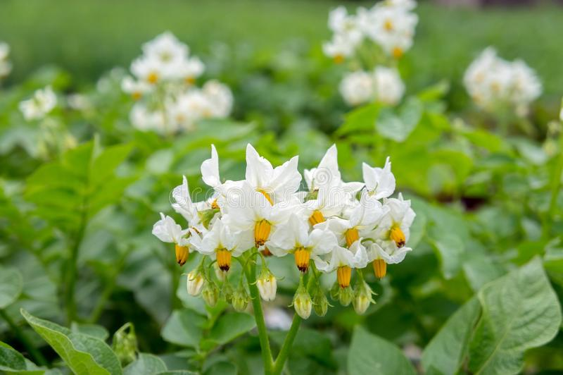 Biały kwiat grula na jarzynowej plantaci w kuchennym ogródzie obrazy stock