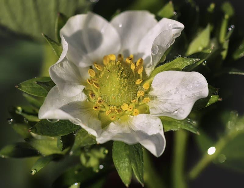 Biały kwiat i zieleń truskawkowi liście w rosa kropel zakończeniu makro- fotografia stock
