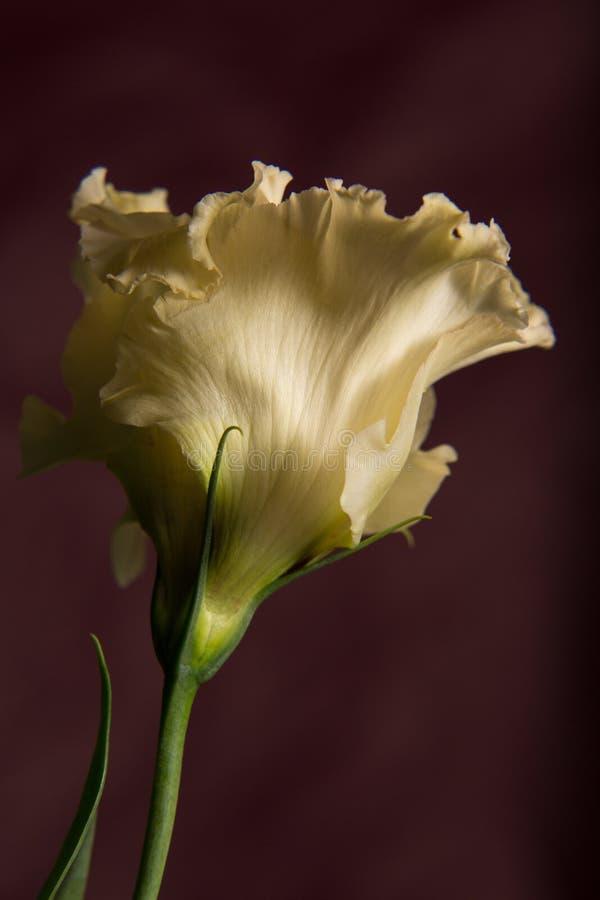Biały kwiat na różowym tle zdjęcia royalty free