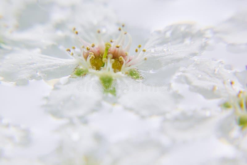 Biały kwiat na wodzie Makro- zatrzymuje Czeremchowy zdjęcia royalty free
