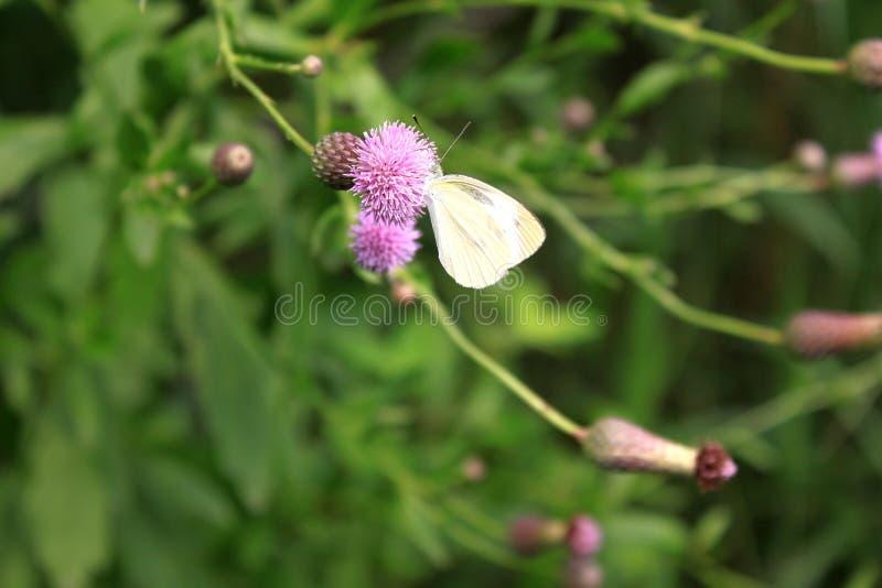 Biały kwiat Orientalna wiśnia motyl i zdjęcia stock